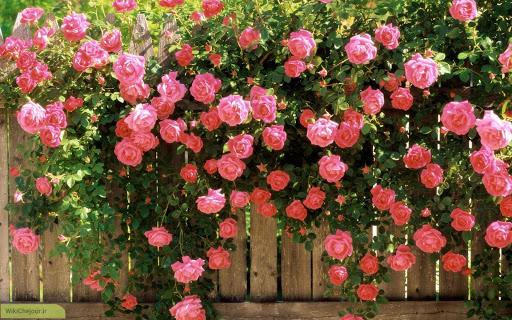 نحوه نگهداری و کاشت گل محمدی در گلدان